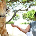 Giraffefeeding1