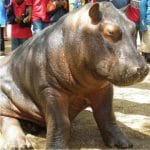 baby-hippo2