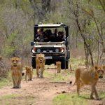 classic-kruger-park-safari-lions-590x390