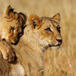 lions-popular-wildlife-kruger-park-590x390