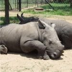 young-rhinos3